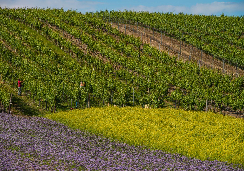 Entstehungsgeschichte Weinviertel DAC