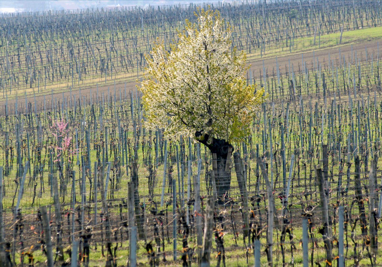 Entwicklung der Rebsorten im Weinviertel