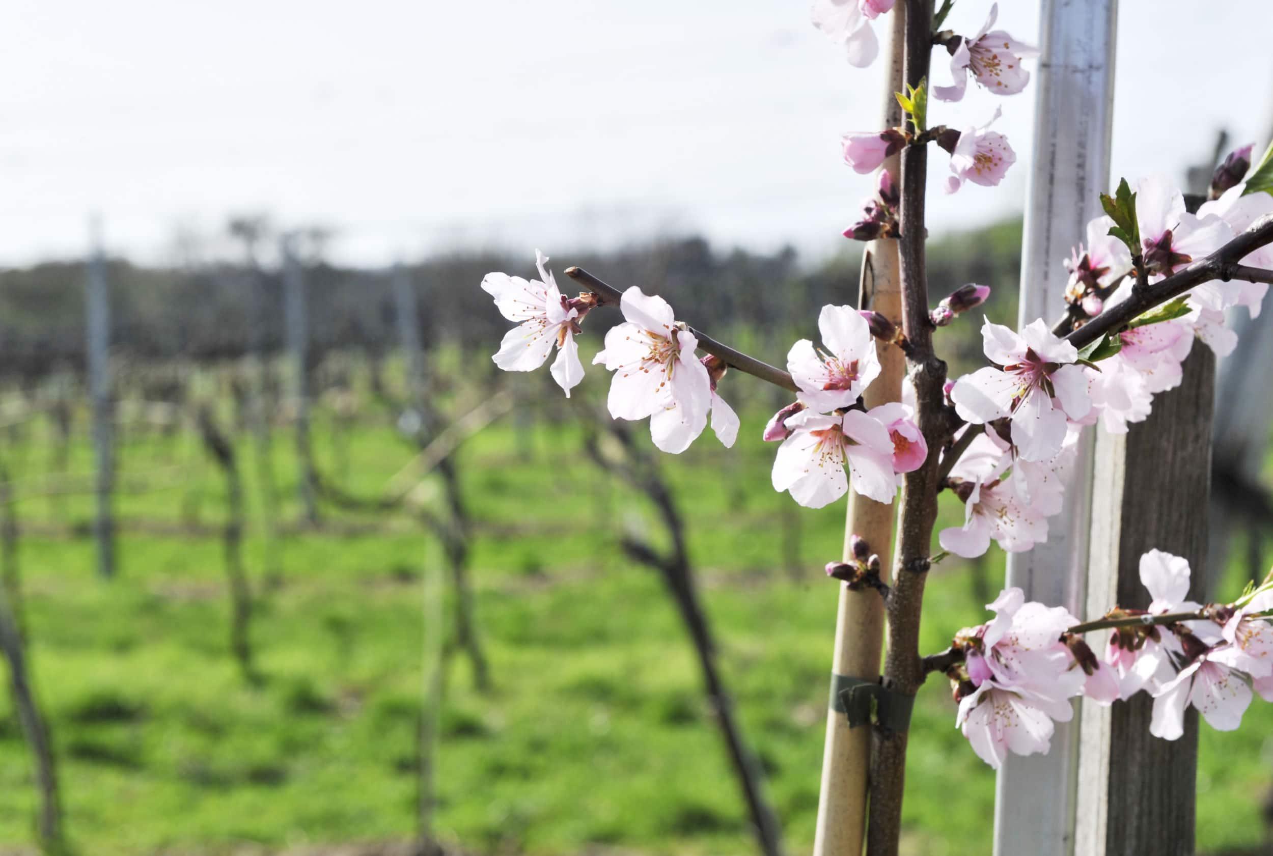 Weinviertler Frühling